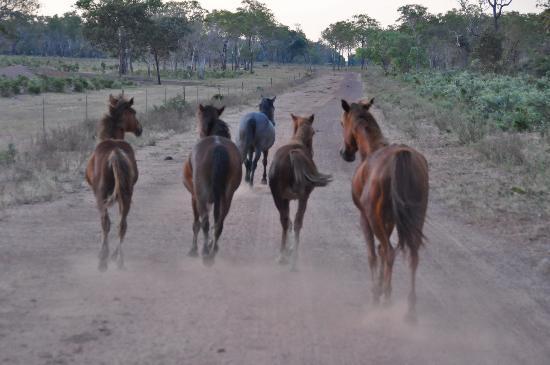 Bamurru Plains: Wild horses