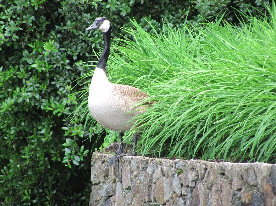 Winterthur, DE: goose guarding eggs