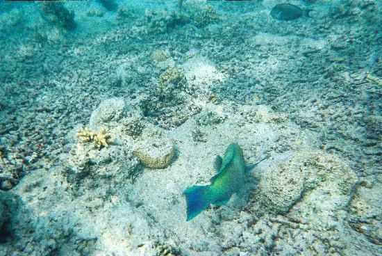 Blue Reef Red Sea Resort: schönen Korallenriff der Nähe des Hotels