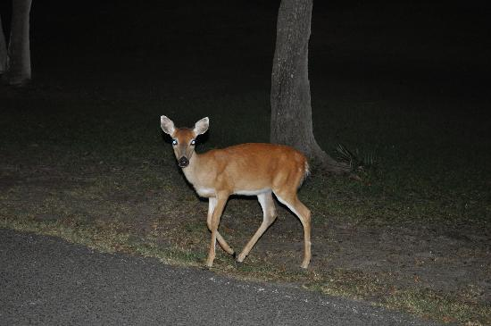 Fripp Island Resort: Deer roam freely