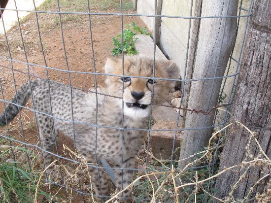 Daniell Cheetah Project: Baby Cheetah