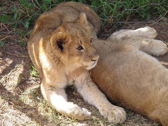 Daniell Cheetah Project: Cuccioli di leone