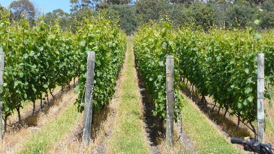 Campania Hills Vineyard B&B : Vineyard.
