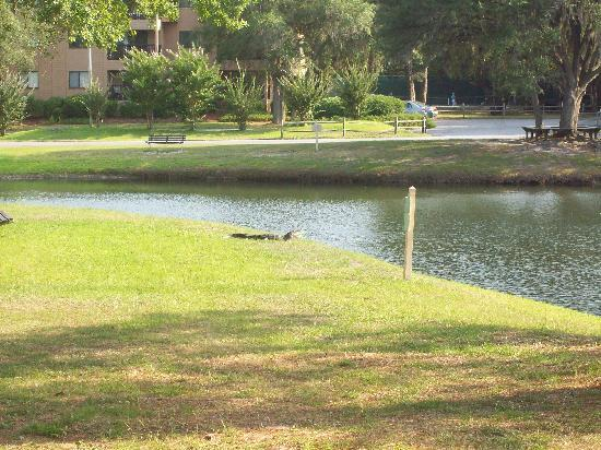 Hilton Head Island Beach & Tennis Resort: Alligator in the lagoon!