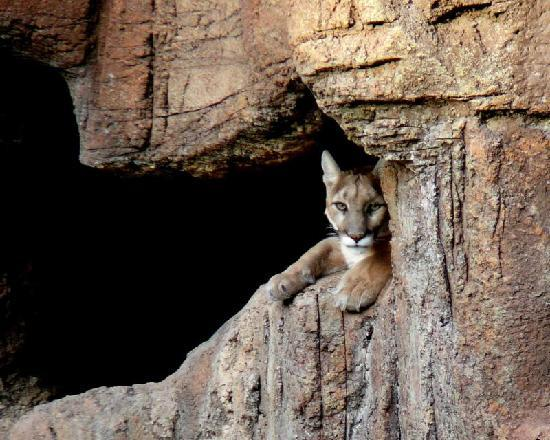 Sedona Sacred Earth: Couger in Canyon