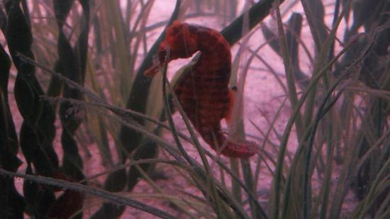 National Mississippi River Museum & Aquarium: Seahorse in Saltwater tank
