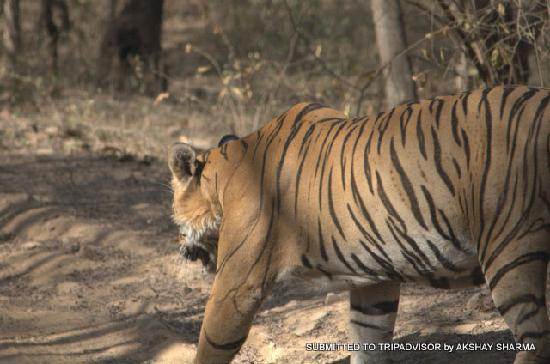 Ranthambore National Park, Indie: Tiger, now walking in front of us