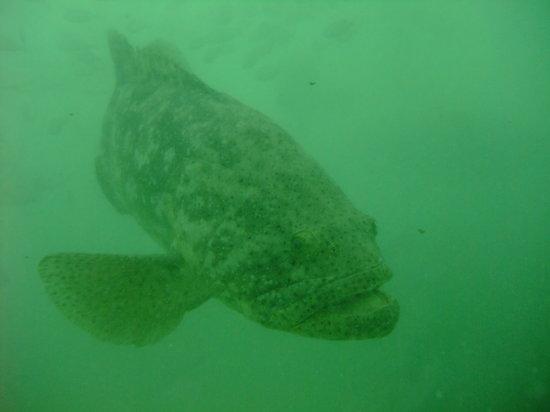 Scuba Marco: Goliath Grouper
