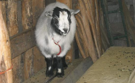 Four Mile Creek Bed and Breakfast: They have Pigmy Goats.  Funny!!
