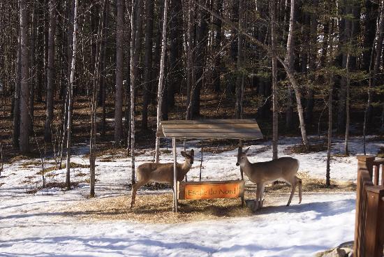 Gite l'Escale du Nord: Cerfs de Virginie autour de la maison