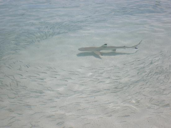 Kuramathi Island Resort: TIBURONES NADANDO CON NOSOTROS
