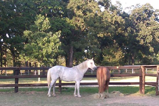 Centaur Arabian Farms: Friendly horses