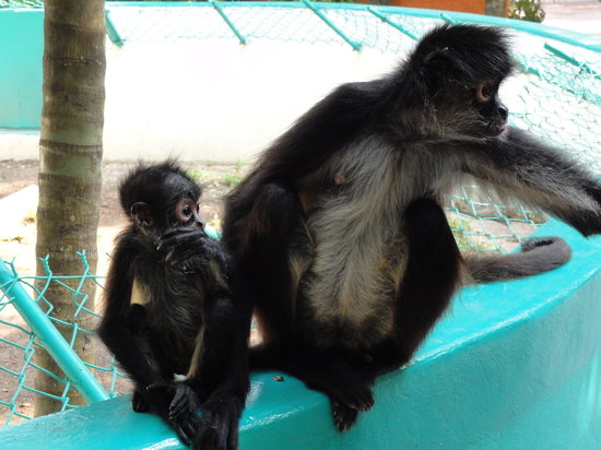 Hummer Jungle Tours: Mama and baby spider monkey.