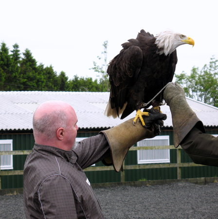 Phoenix Falconry: with bald eagle