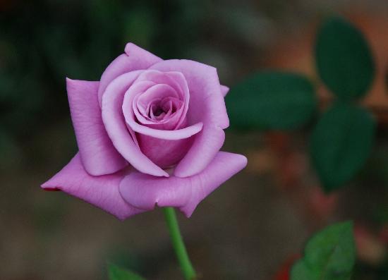 Brahmaputra Jungle Resort: A rose at the resort