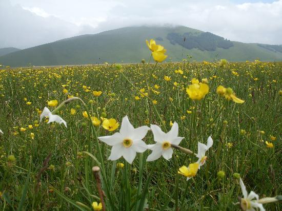 Piana di Castelluccio di Norcia: Narcisi
