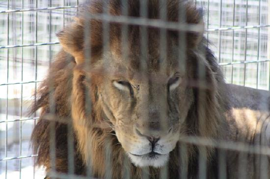 Octagon Wildlife Sanctuary And Rehabilitation Center: Octagon Sanctuary Lion