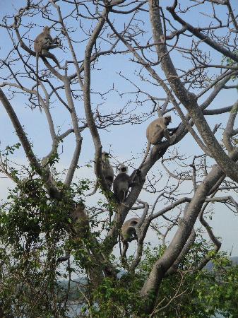 Heritance Kandalama: lanka monkeys