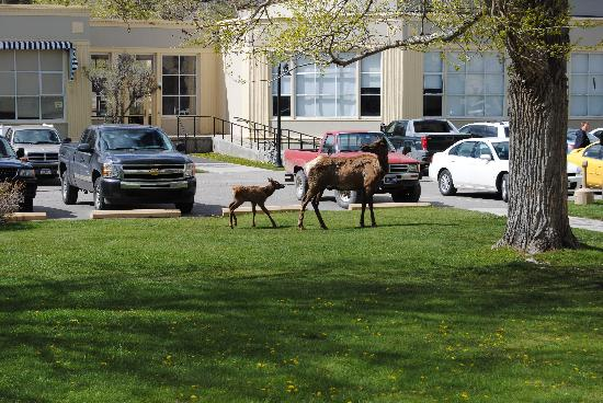 Mammoth Hot Springs Hotel & Cabins: Mother and baby elk