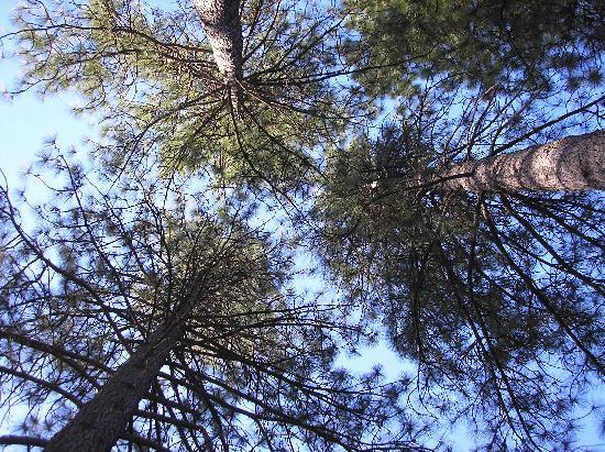 Yosemite Westlake Campground and RV Park: Pine trees aloft