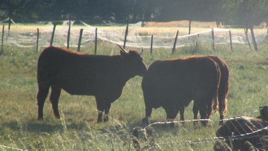 Boofzheim, Frankreich: les bovins aux abord du camping