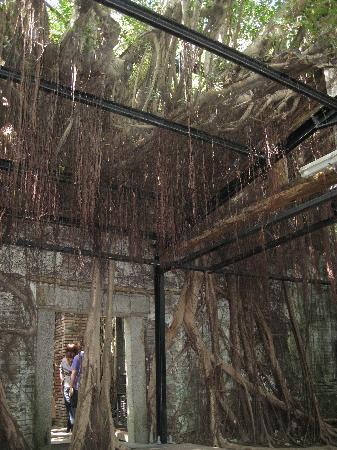 Maison arboricole d'Anping : 逞しい亜熱帯樹木の生命力