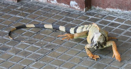 Casa La Fe - a Kali Hotel : Wild Iguana in the square. Cool!