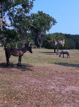 Spencer House Inn Bed and Breakfast: Wild Horses at Cumberland Island