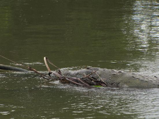 Belize Cruise Excursions: Croc in the river