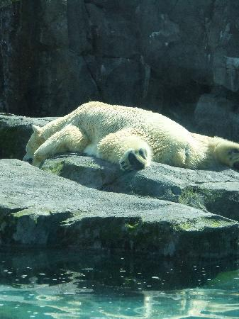 Alaska Zoo : Polar bear lazing in the sun