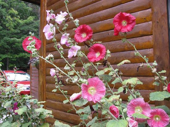 Horton Creek Inn B&B: Beautiful Hollyhocks!