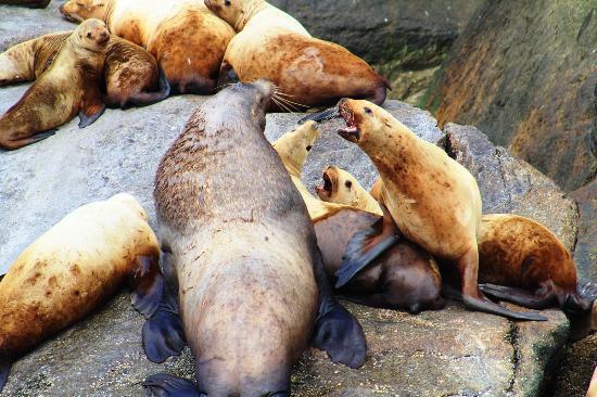 Seward, AK: Sea lions basking on a rock
