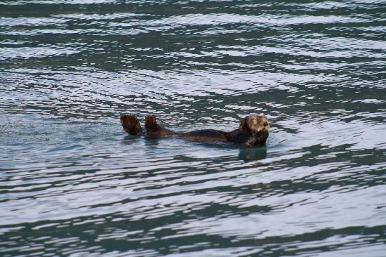 Seward, AK: Sea otter, showing off for us!