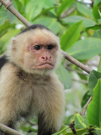 Villas Oasis: White faced monkeys!