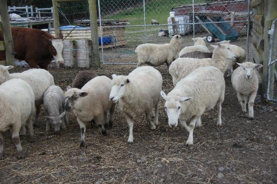 Mingary Farmstay B&B Accommodation: Sheep on the farm
