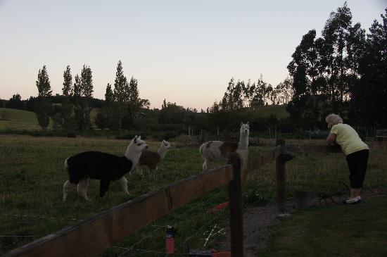Mingary Farmstay B&B Accommodation: Host Pam with their alpacas