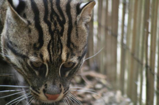 Newquay Zoo: Fishing Cat