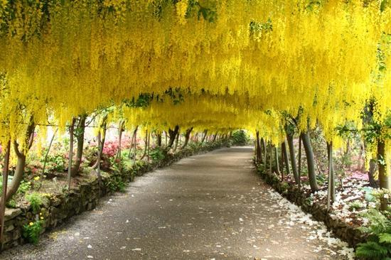 Bodnant Garden: laburnum arch in may 2011