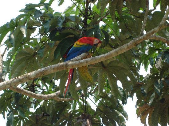Région de Loreto, Pérou : parrots!