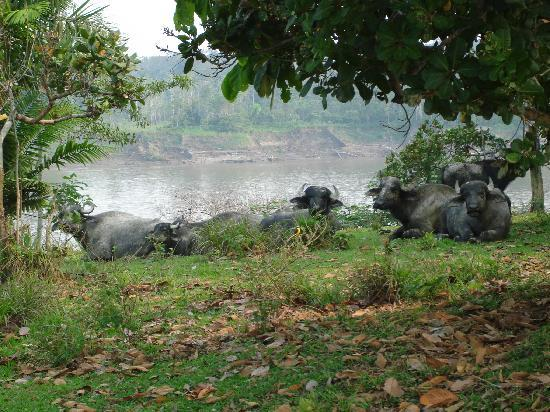 Loreto Region, Peru: water buffalo