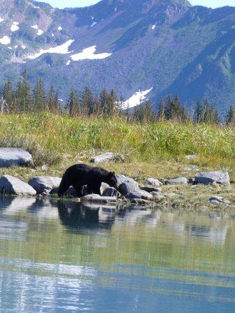 Kenai Fjords Glacier Lodge : shore bear