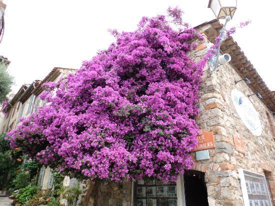 Mouramour : Bourgainvillea in Grimaud