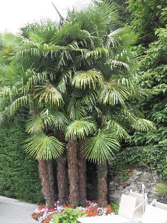 Cannobio, Italia: wunderschöne Palmen