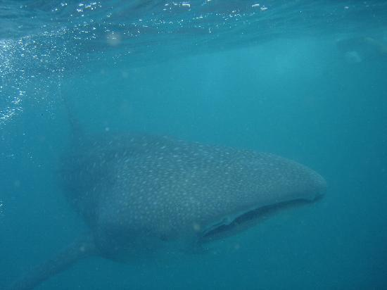 Barra Lodge: Wally the Whale Shark