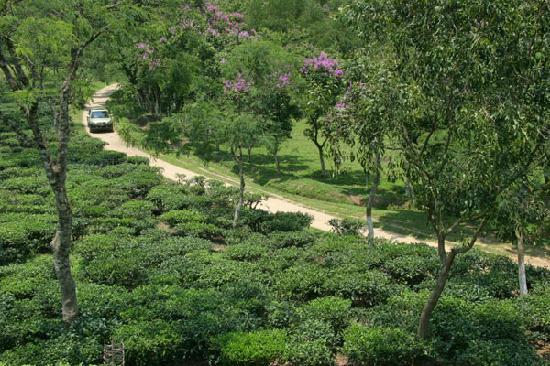 Sylhet City, Bangladesh: tea garden