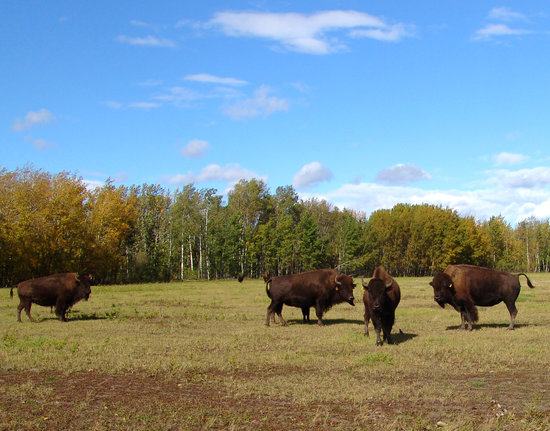 Grande Prairie, Kanada: Buffalo