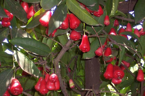 Betel Garden Villas: Fresh plums or 'champuu' right out the front door