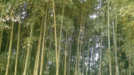 Bambu nei giardini di ninfa foto di giardino di ninfa for Bambu giardino