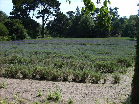 Jersey Lavender Farm: Lavender