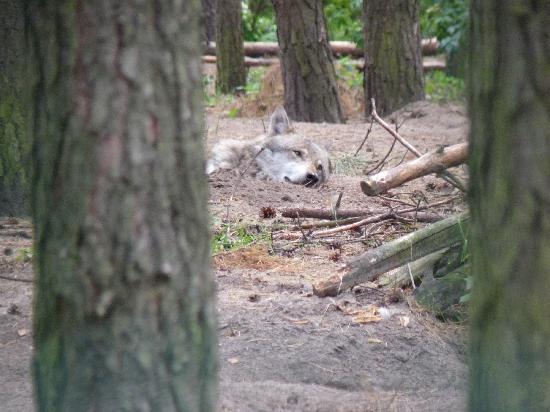 Wildpark Schorfheide: ein Wolf